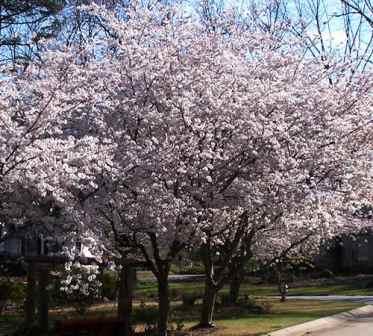 Turfsavers tree farm ornamental trees for sale for Flowering ornamental trees zone 5