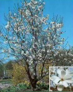 Turfsavers tree farm ornamental trees for sale this small ornamental tree has beautiful reddish purple foliage all summer long one of the first trees to bloom in spring with fragrant pink flowers mightylinksfo