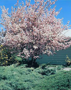 Spring snow white flowering crabapple tree flowers healthy fruits are maroon and the tree offers good disease resistance it is truly beautiful when in bloom 15 x 12 zone 2 spring snow crab this fruitless mightylinksfo