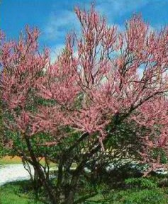 Turfsavers tree farm ornamental trees for sale this small tree is noted for its bright purplish pink flowers that form clusters in may heart shaped leaves have reddish new growth yellow fall color mightylinksfo