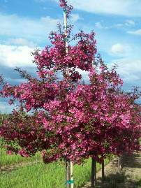Turfsavers tree farm ornamental trees for sale the snowmantle dogwood is a profuse bloomer that offers pure white flowers in spring the smooth bark and white fruits add additional seasonal interest mightylinksfo