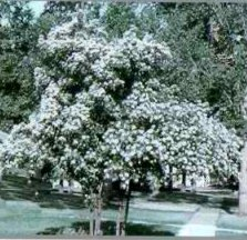Turfsavers tree farm ornamental trees for sale the cockspur hawthorn is a thornless variety which offers distinctive horizontal branching and glossy green foliage with white flowers in spring mightylinksfo